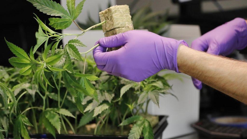 Veinticuatro ciudades californianas demandan a su estado por permitir la venta de marihuana a domicilio