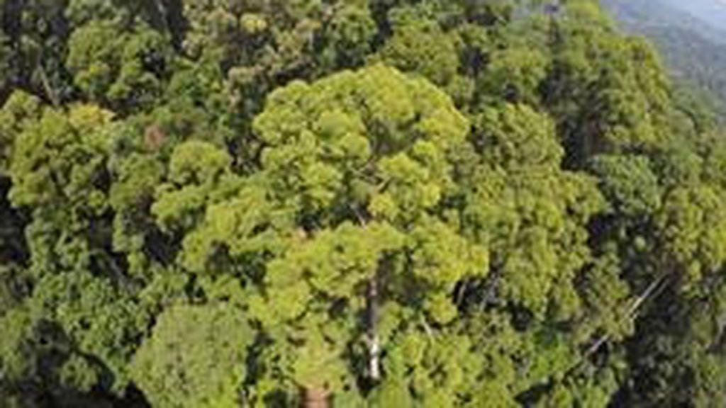 El nuevo árbol tropical más alto del mundo supera los 100 metros