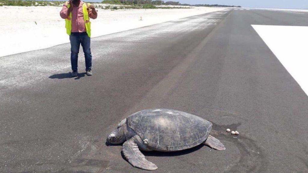 Tortugas en peligro de extinción regresan a la playa para poner sus huevos y encuentran una pista de aterrizaje