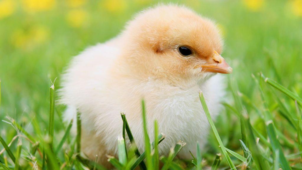 Mueren 20.000 pollos a causa de un incendio en una granja en Alicante