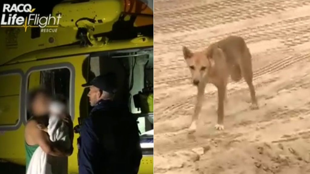 Un bebé de 14 meses sobrevive al ataque de un dingo australiano