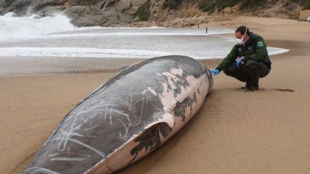 Aparece una ballena muerta en la playa de Tossa del Mar, Girona