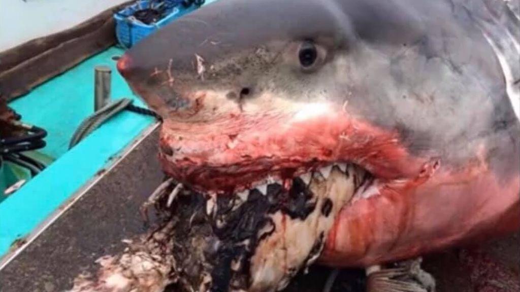 Un enorme tiburón blanco muere atragantado con una tortuga marina