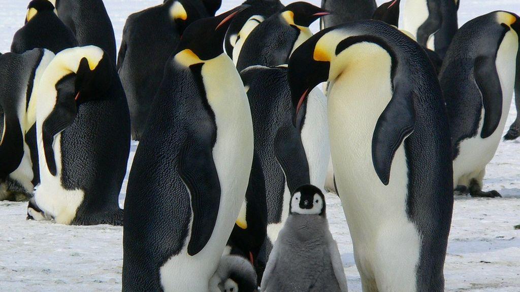 Los pingüinos emperador dejan de reproducirse en la  Antártida por el cambio climático