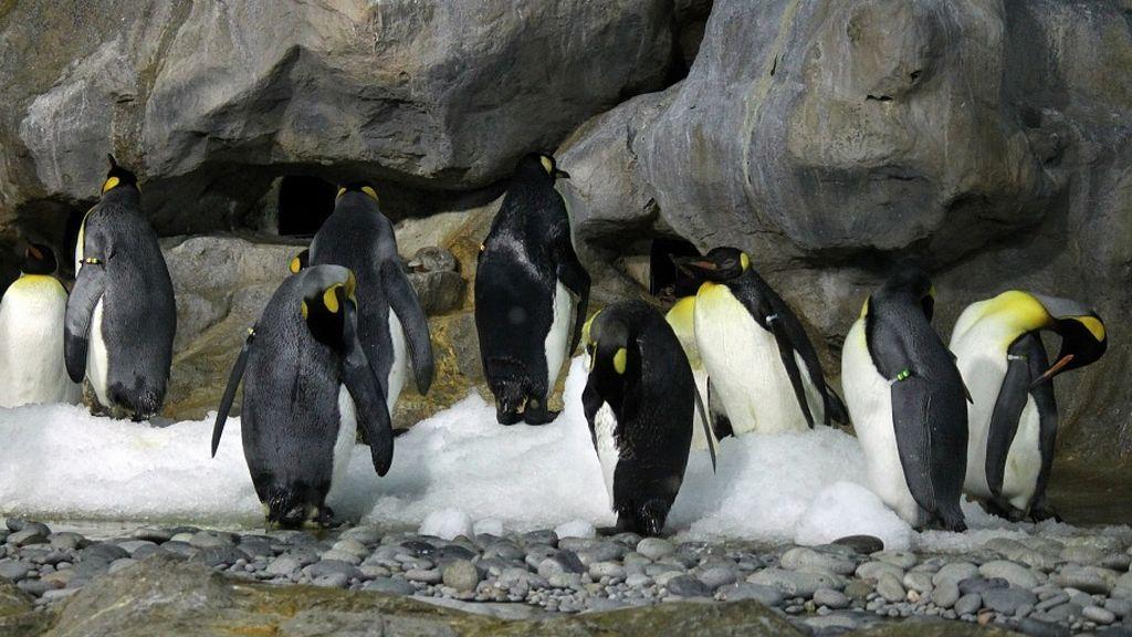 El pingüino emperador, en jaque: el mal estado del hielo marino imposibilita su reproducción