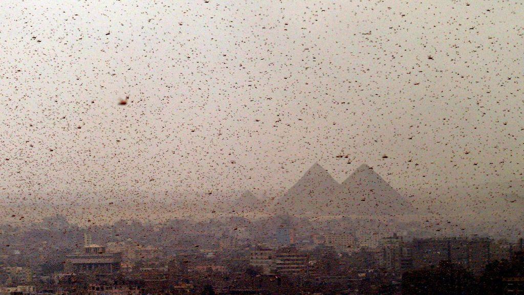 Egipto se enfrenta a la invasión de langostas que recuerda a la octava plaga de la Biblia