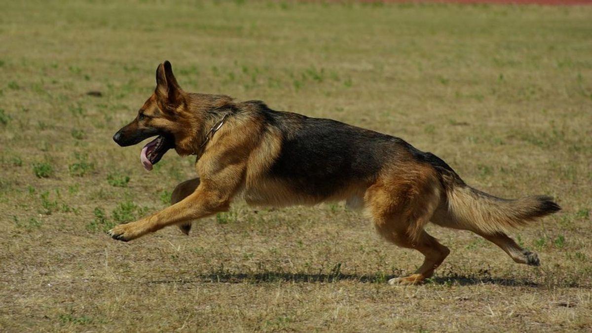 german-shepherd-707063_960_720