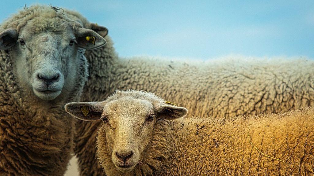 sheep-3727049_960_720