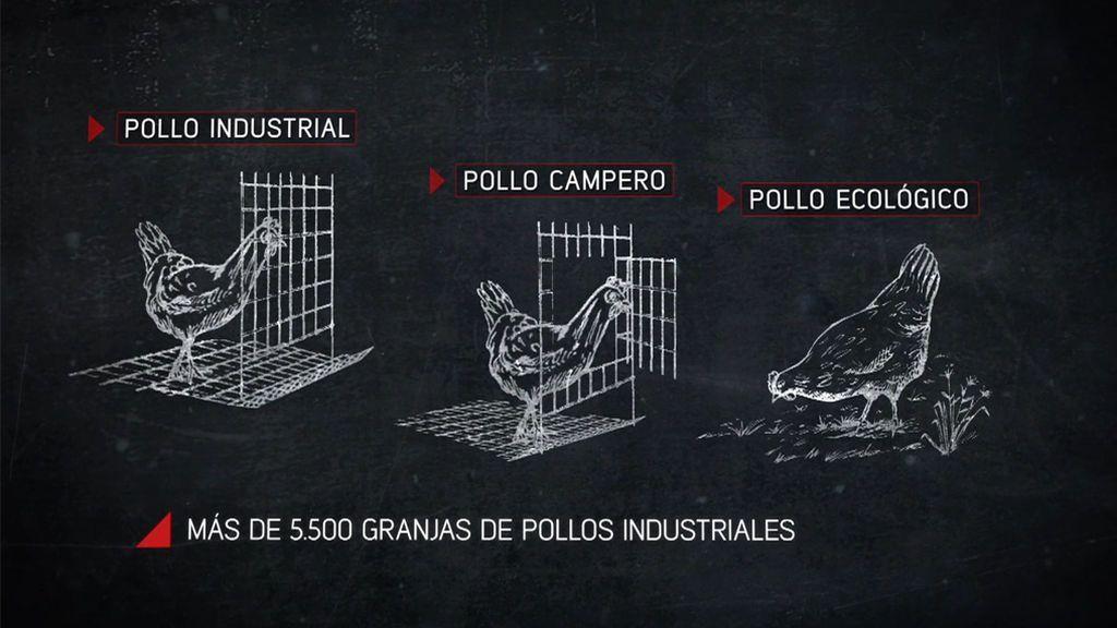 Las diferencias entre pollo industrial, pollo campero y pollo ecológico