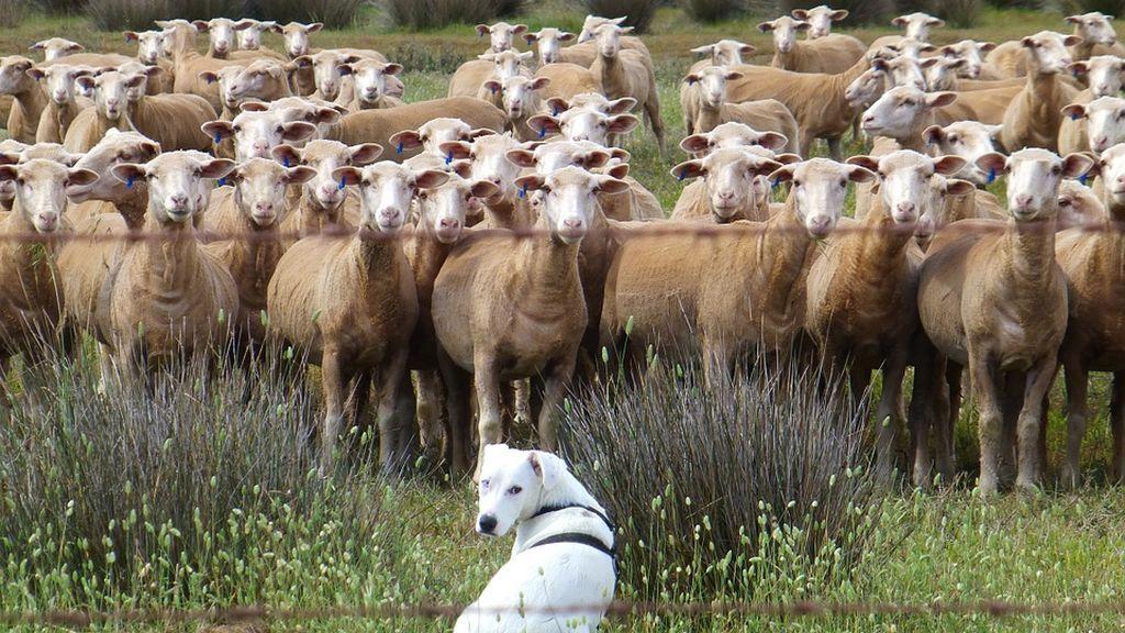 La matriculación de 15 ovejas en un centro escolar evita el cierre de una clase en Francia
