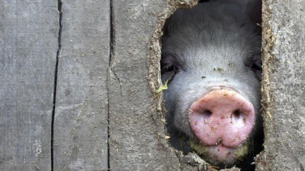 Regeneran el corazón de un cerdo después de un infarto de miocardio
