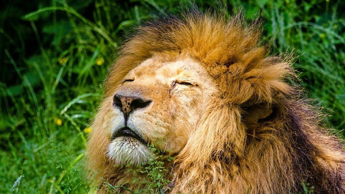 Un león con cáncer de piel recibe terapia radiológica en un hospital de Sudáfrica