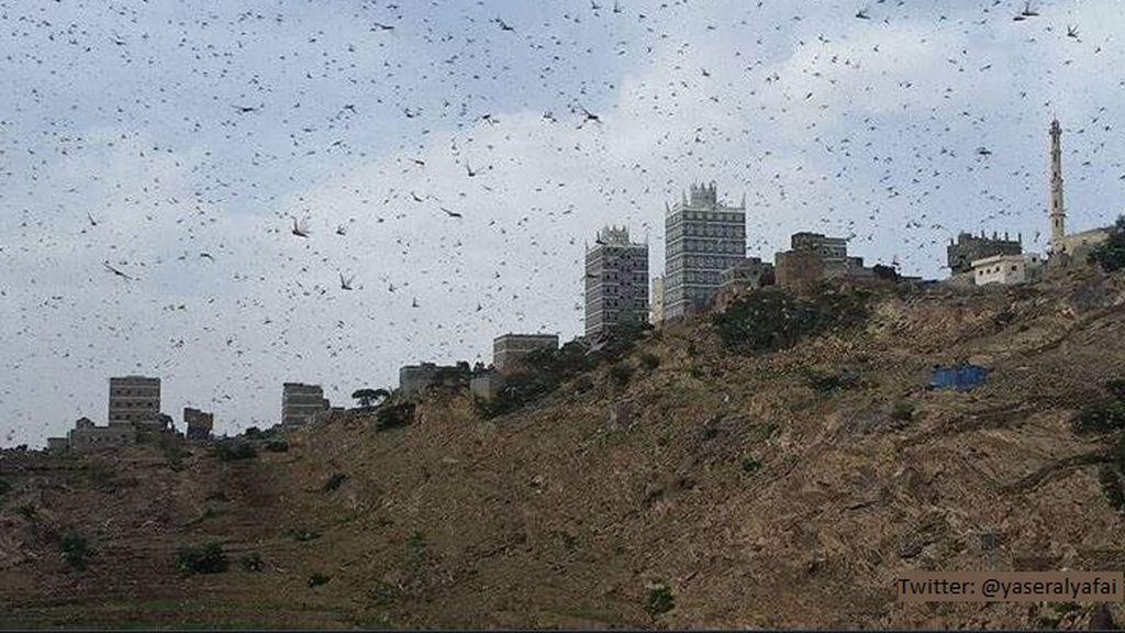 Las imágenes de la plaga bíblica de langosta que está acabando con las cosechas en Oriente Medio