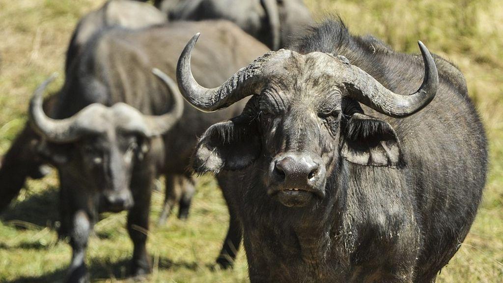 Una búfala sacrifica su vida ante unos leones por defender a su cría