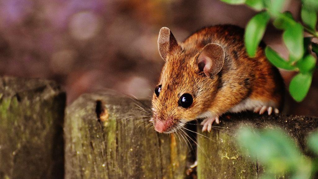 Los ratones sí tienen personalidad