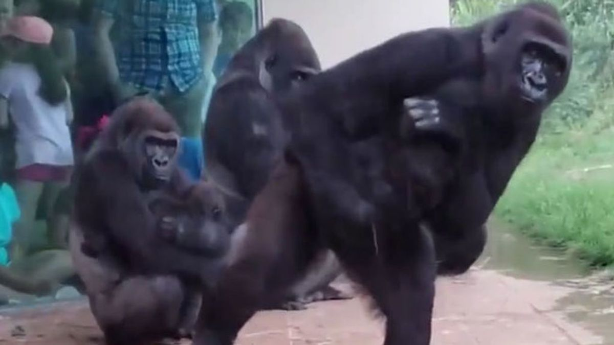 Un grupo de gorilas muy humanos, los gestos que delatan de dónde venimos