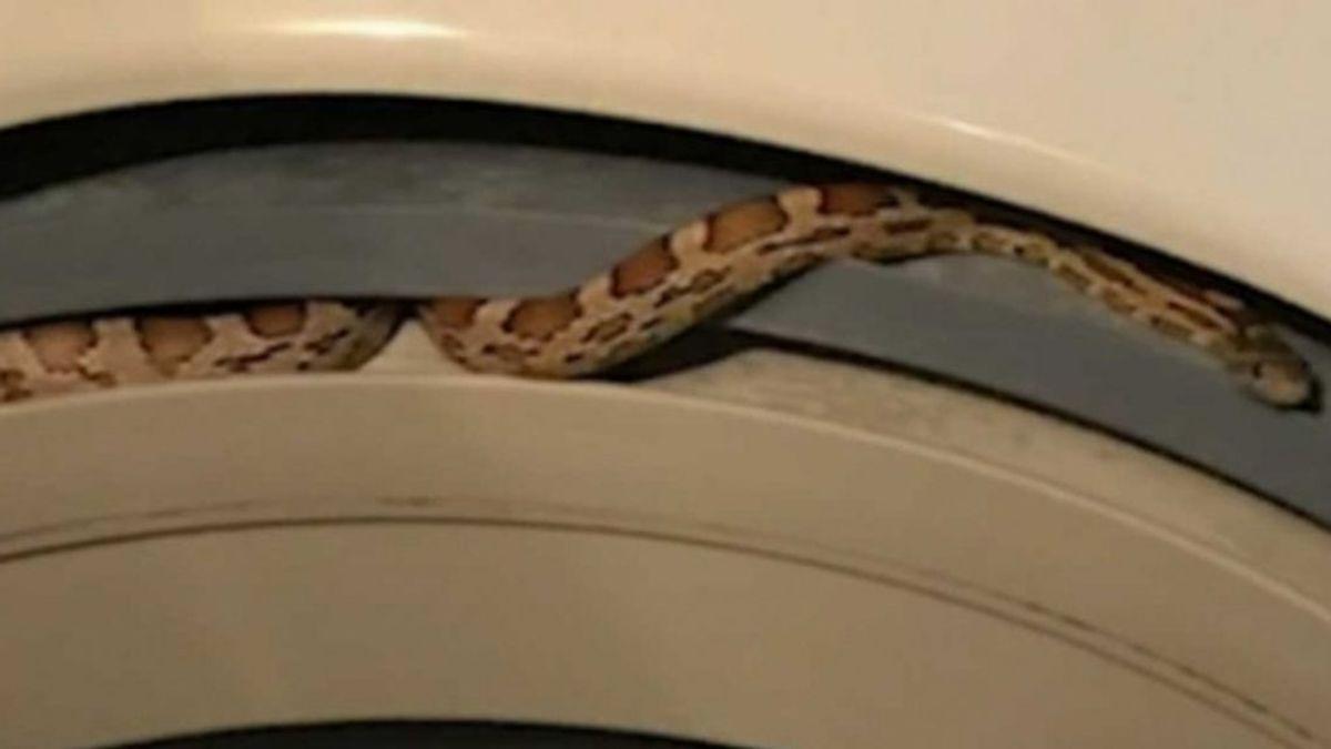 Susto entre la colada: encuentra una serpiente viva en la lavadora