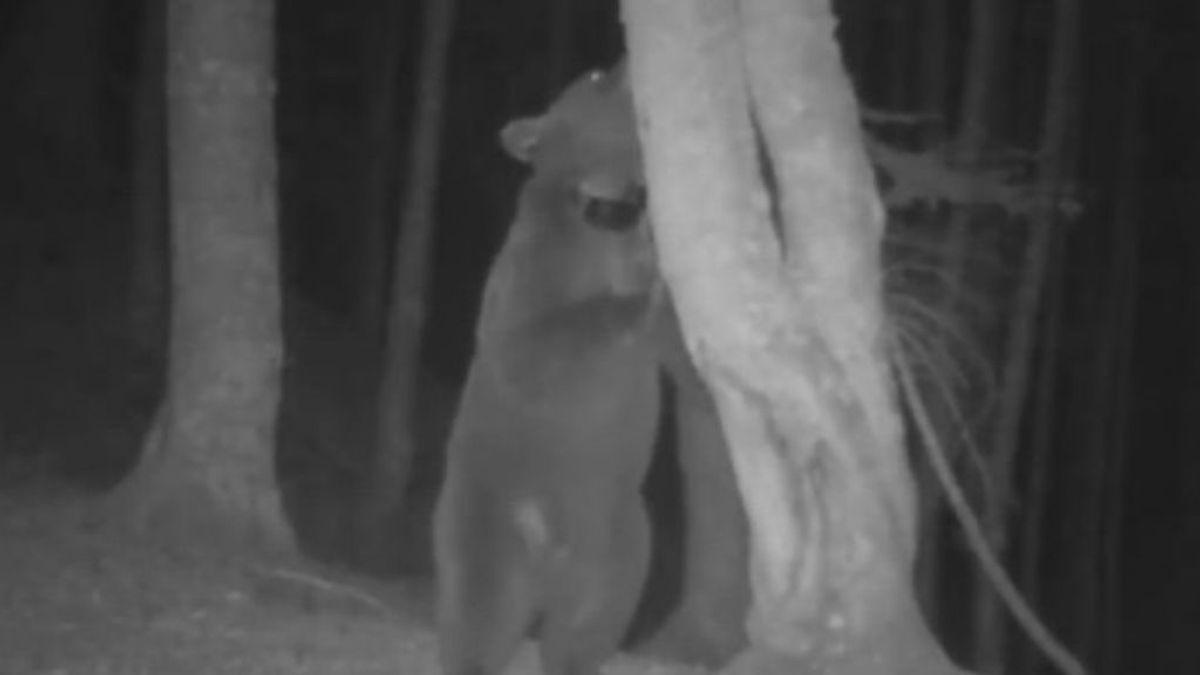 Los osos pardos liberados en los Pirineos se convierten en la pesadilla de los ganaderos navarros