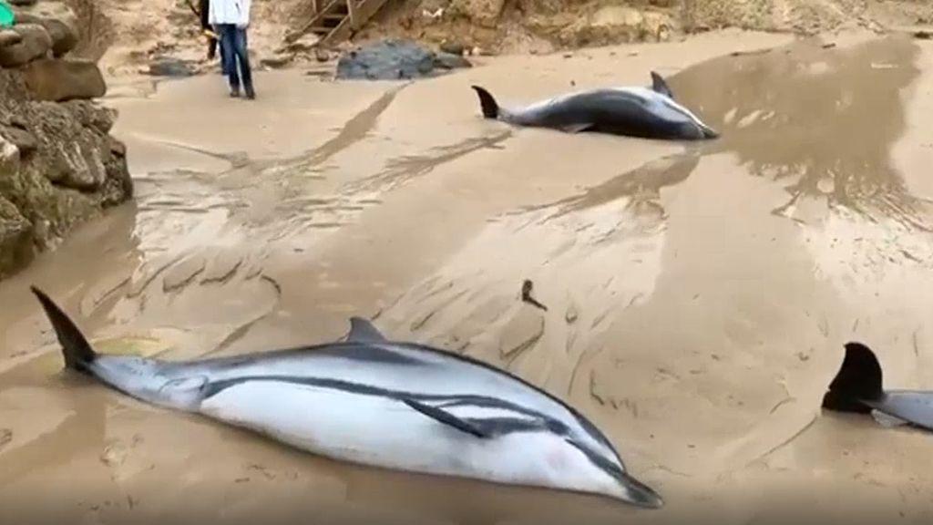 Catorce delfines muertos: por qué han aparecido varados en Cantabria