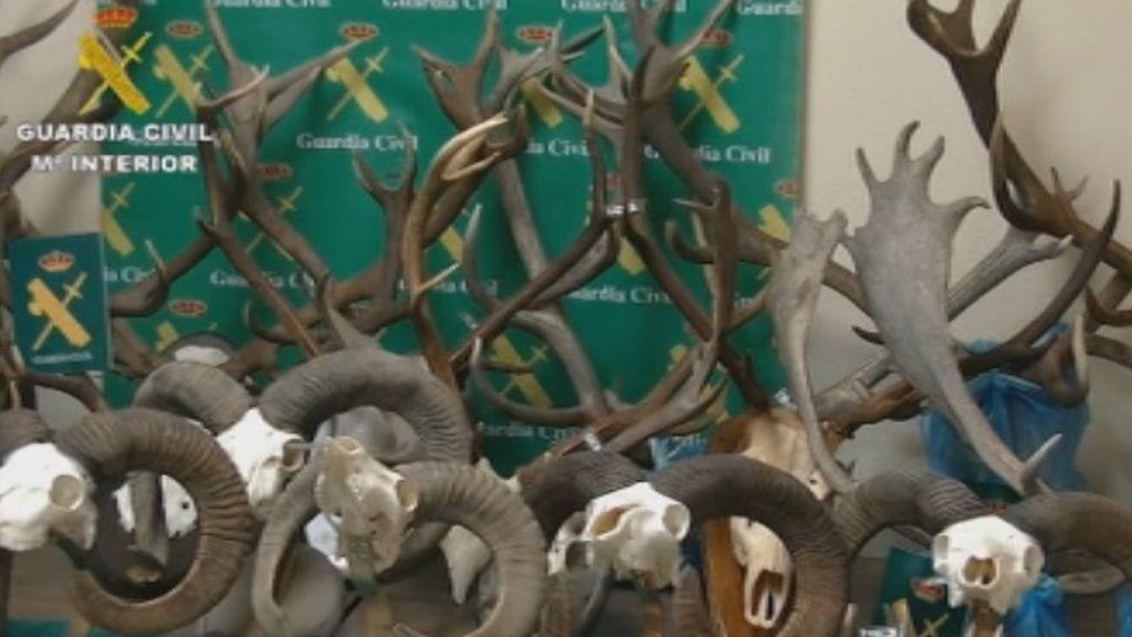 Desmanteladas varias organizaciones que se dedicaban al tráfico de cornamentas de ciervo