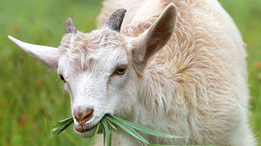 Cabras como herbicidas naturales en los parques de Nueva York
