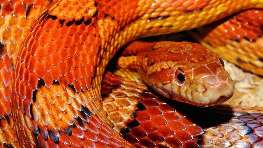 La OMS presenta una estrategia para reducir a la mitas el número de muertes por mordedura de serpiente