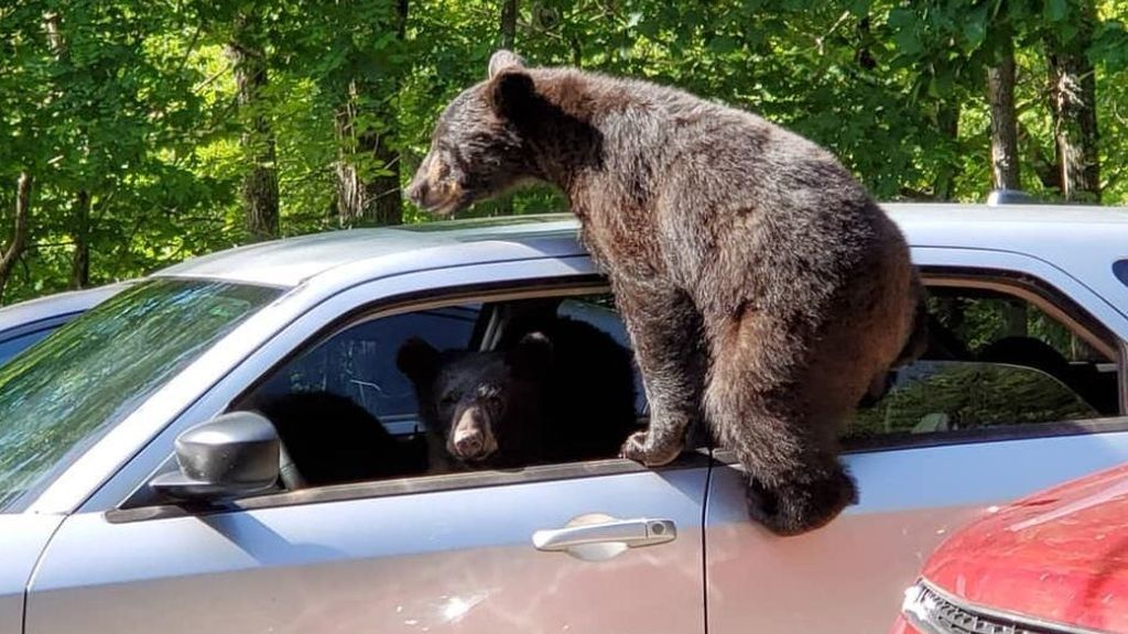Sorpresa al volante: encuentra su coche 'tomado' por osos