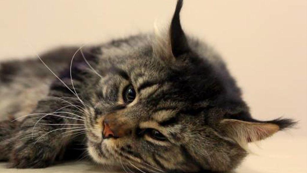 Piden un año de cárcel para un vecino de Tineo que mató a su gato a golpes