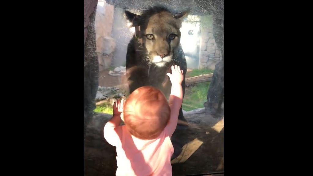 Dulce encuentro entre una bebé y un puma que enternece a la Red