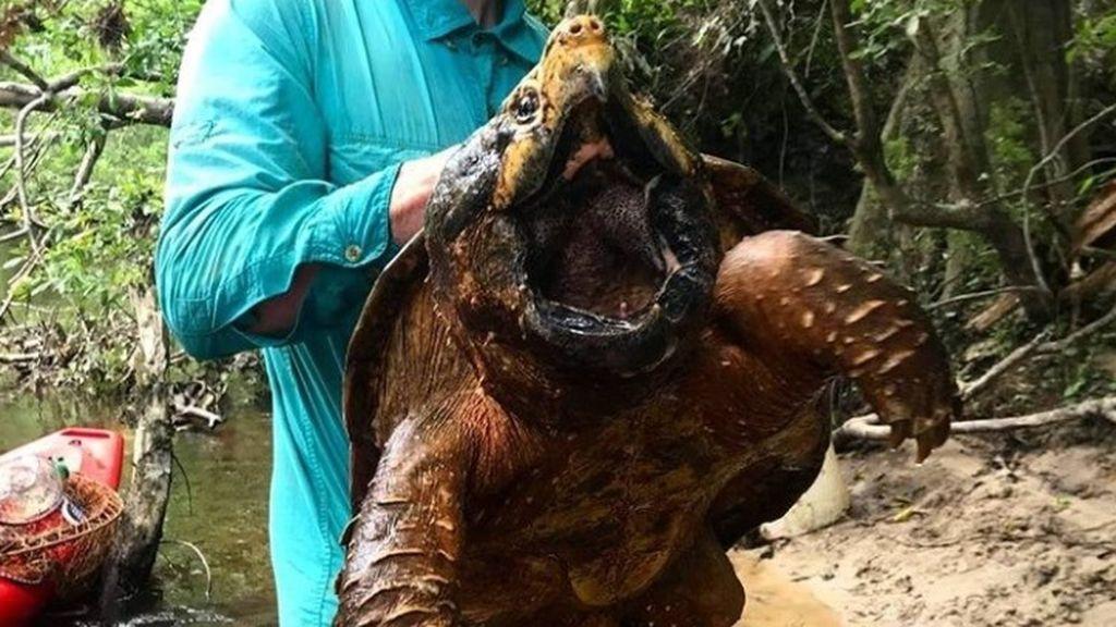 Un estudiante encuentra una tortuga caimán de casi 30 kilos en Estados Unidos