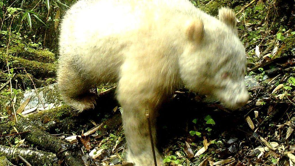 Avistado por primera vez en la historia un oso panda albino