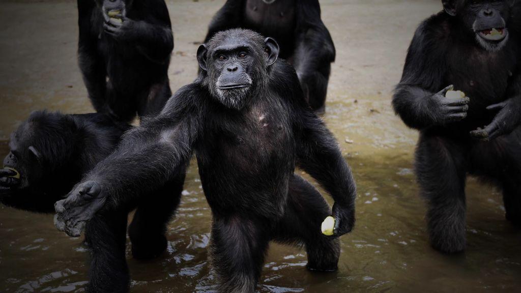'Monkey Island': una isla en la que solo viven chimpancés caídos por la experimentación médica