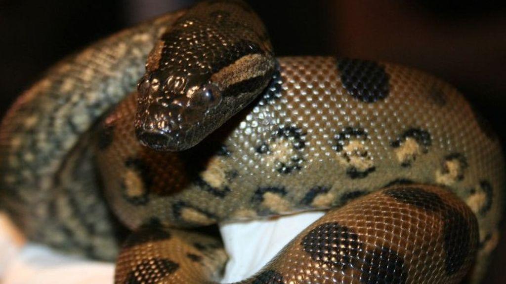Una anaconda logra reproducirse sin la intervención del macho