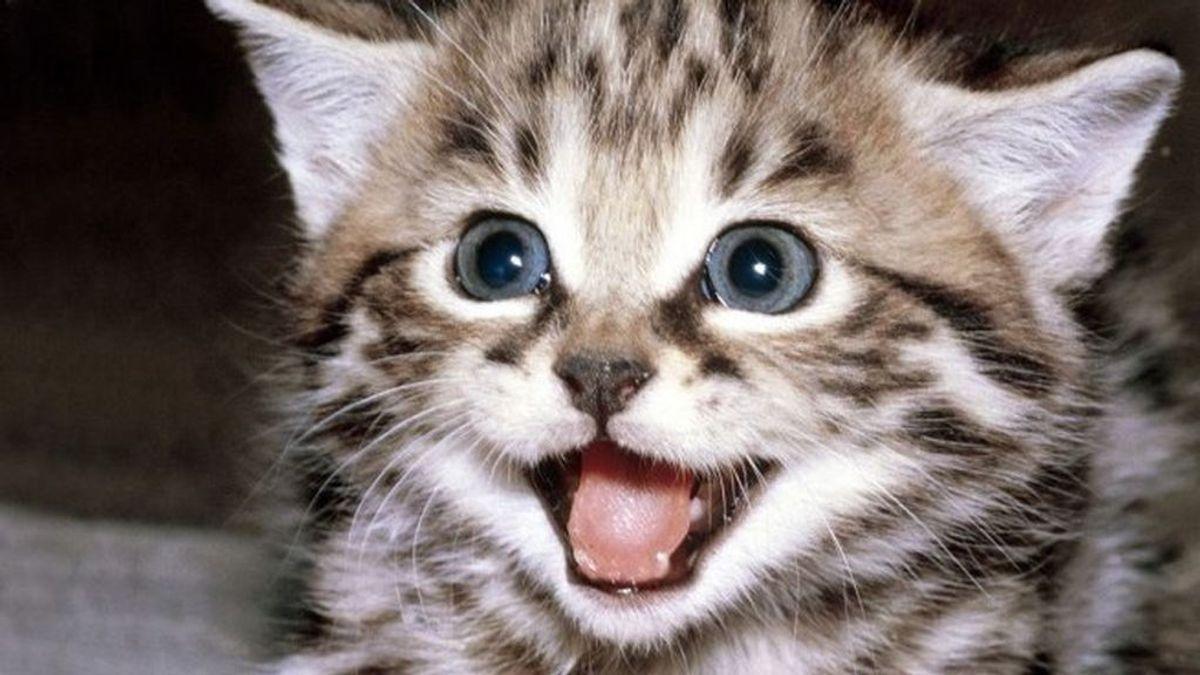 Test de personalidad: danos cinco 'miaus' y te decimos qué raza de gato eres