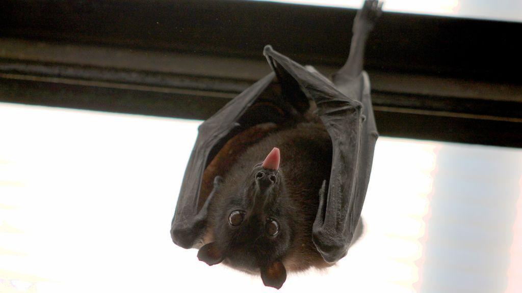 Un murciélago oculto en la funda de una tablet muerde y contagia la rabia a un hombre