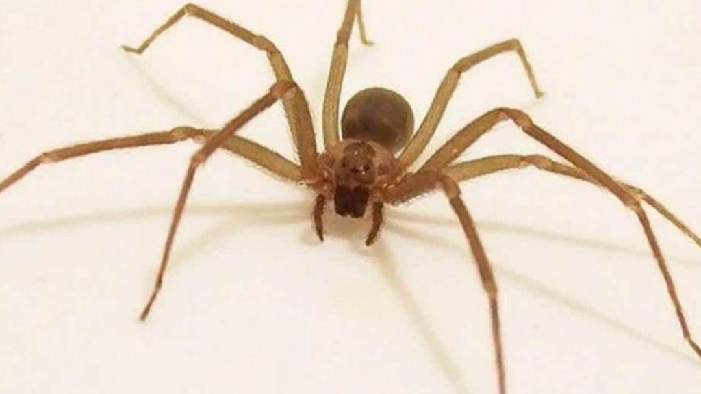 Cómo reconocer a la araña violinista, la especie que está provocando el pánico en España