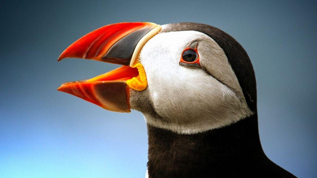 animal-atlantic-puffin-close-up-1159577