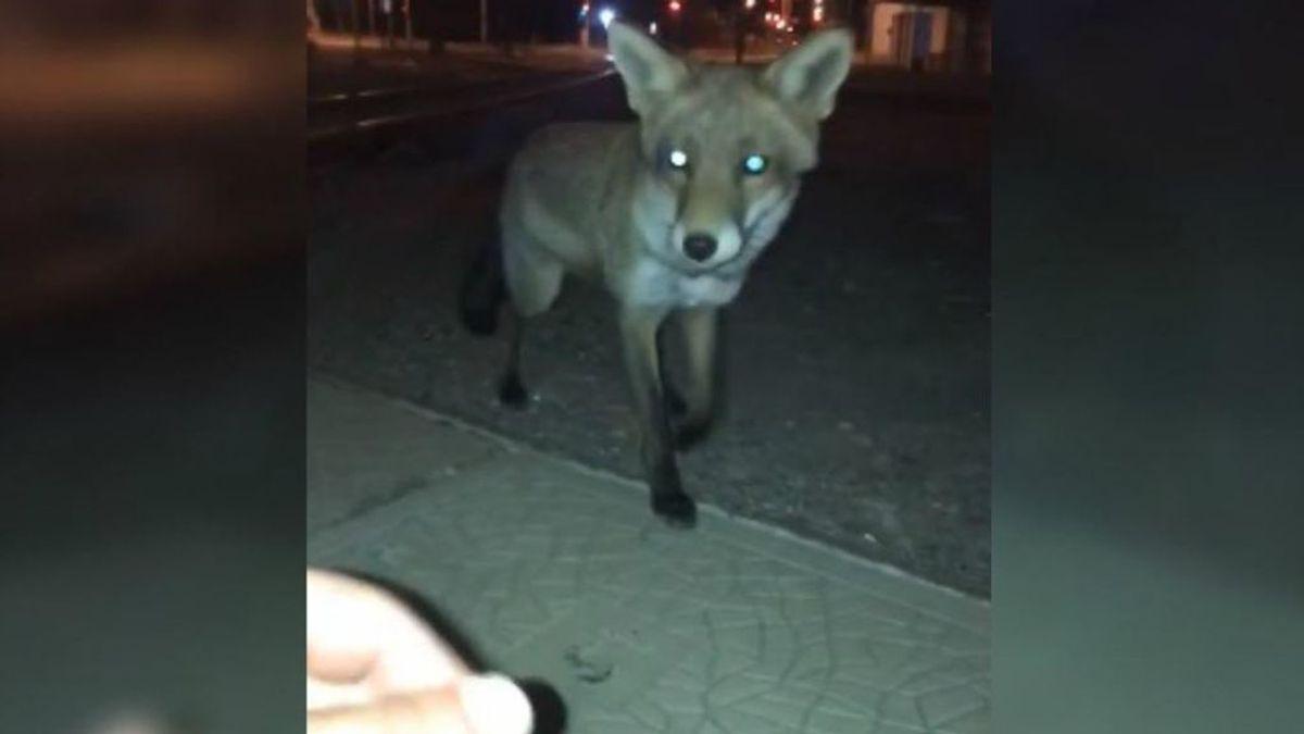Intenta acariciar a un zorro y se lleva un buen susto
