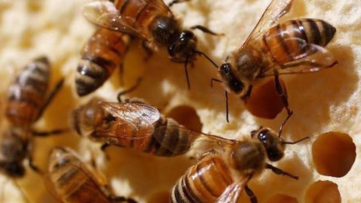 Las abejas demuestran su inteligencia: pueden entender un lenguaje simbólico para las matemáticas