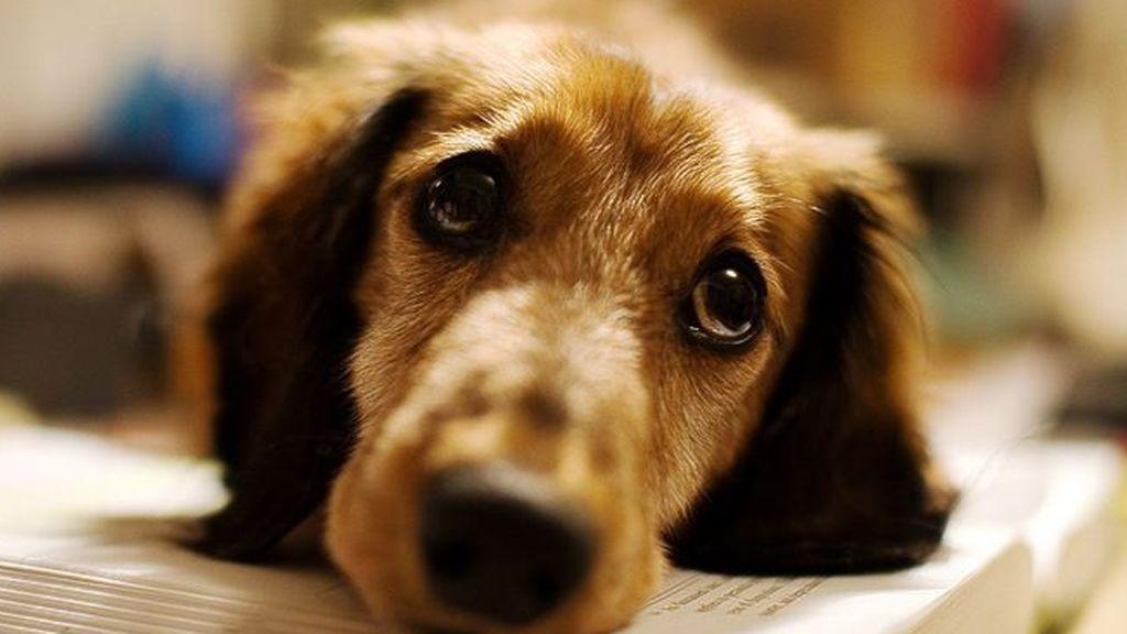 Los perros se contagian del grado de estrés de sus dueños