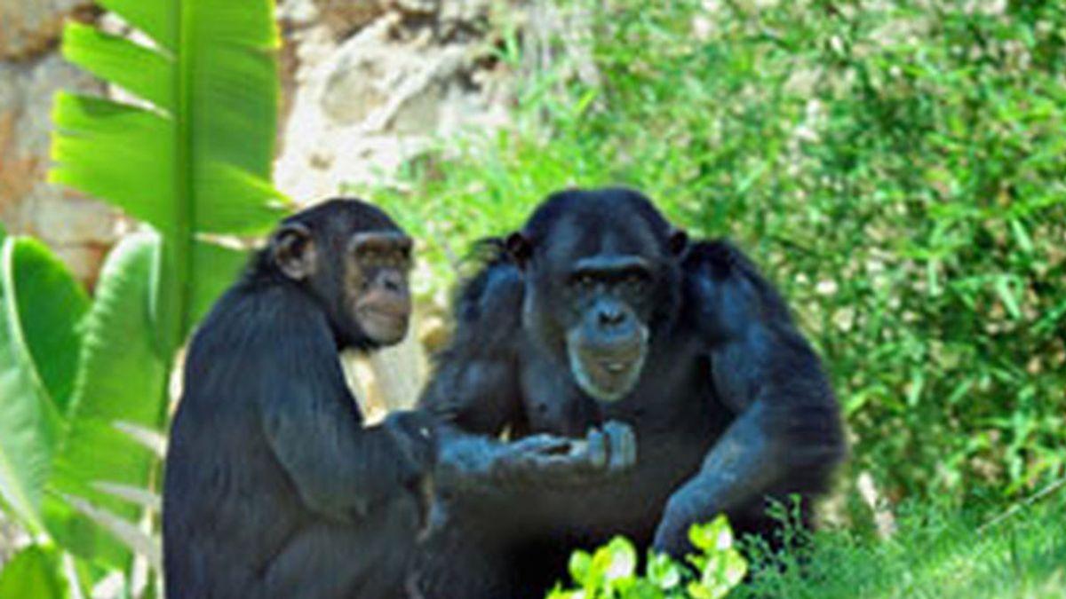 """El primatólogo Tetsuro Matsuzawa asegura que """"humanos y chimpancés somos casi la misma criatura"""""""
