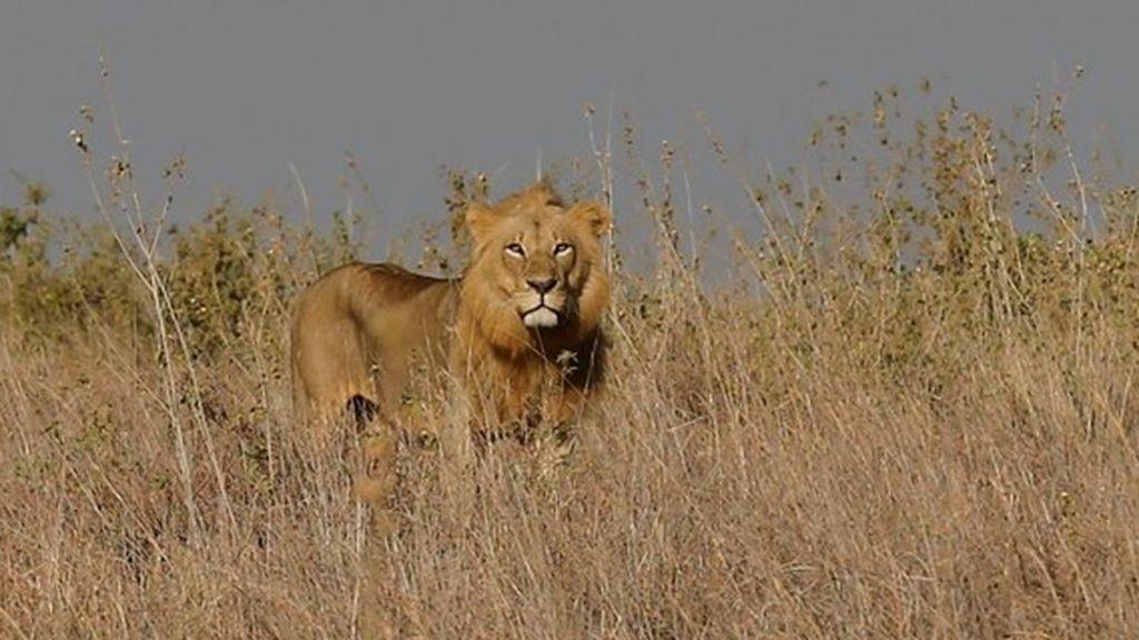 Sudáfrica alerta a la población de la fuga de 12 leones del Parque Nacional Kruger