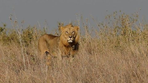 Sudafrica Alerta A La Poblacion De La Fuga De 12 Leones Del