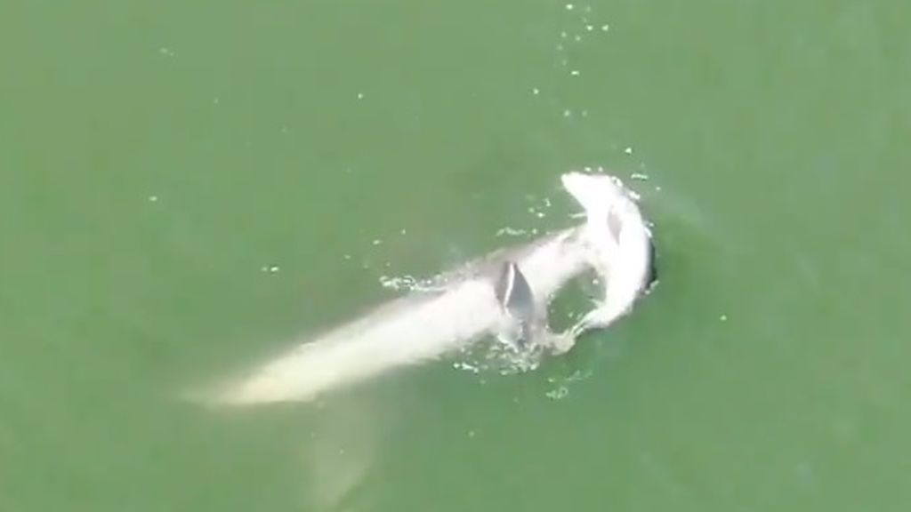 Madre delfín mantiene a flote el cuerpo de su cría muerta
