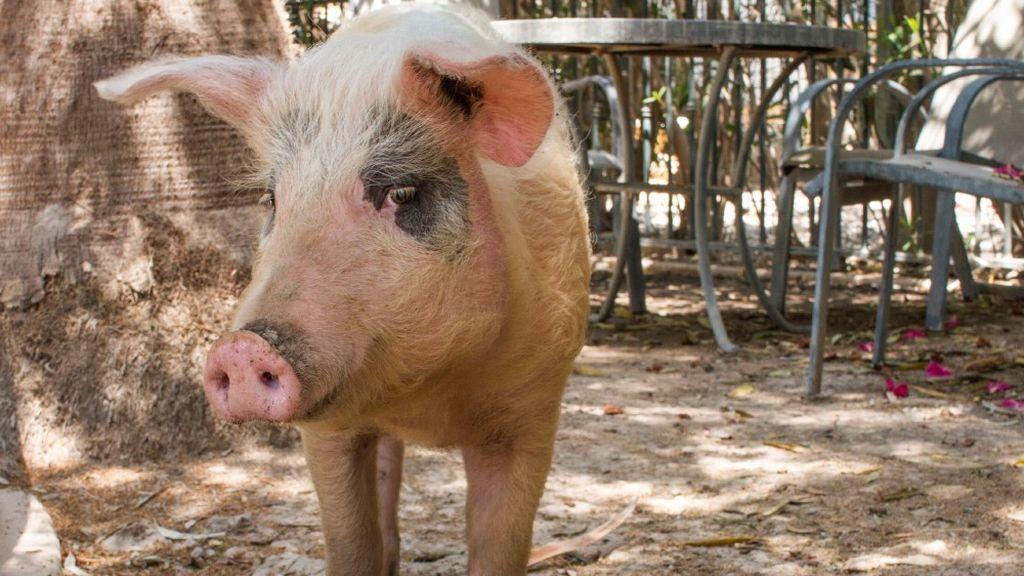 Un cerdo se rescata a sí mismo y aparece en la puerta de un refugio en Alicante