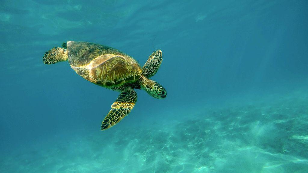 El trabajo ideal: dos semanas con todos los gastos pagados en Maldivas a cambio de cuidar tortugas