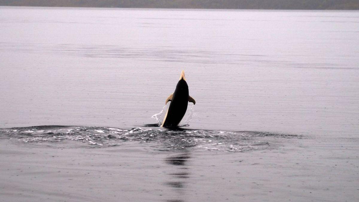 El cambio climático permite fotografiar al delfín liso por primera vez  en Chile