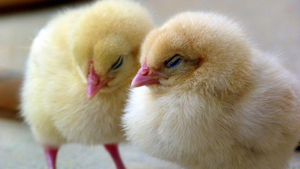 """Alemania avala el sacrificio de millones de pollitos hasta encontrar un """"método de diferenciación de sexo a gran escala"""""""