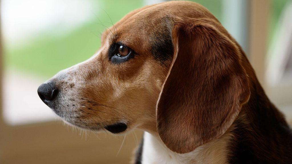 El olfato de los perros detecta el 97% de los cáncer de pulmón