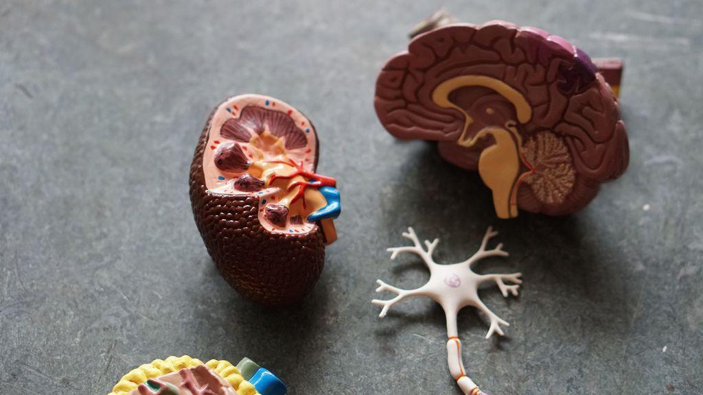 Verdades y mentiras: lo que debes saber donar órganos en vida en España